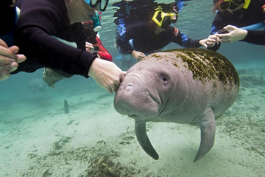 Snorkelers interacting with a Florida manatee inside of the Three Sisters Springs in Crystal River, Florida on Jan 15, 2015. -- PHOTO: REUTERS