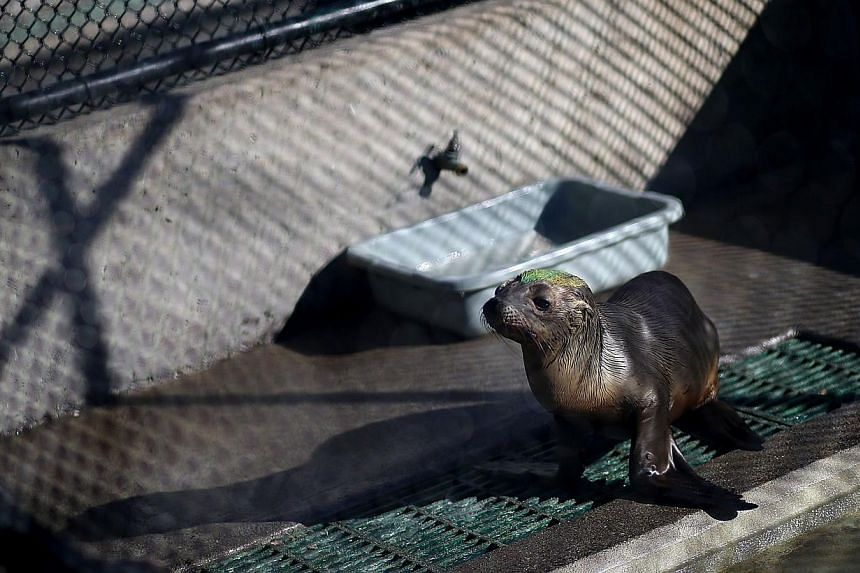 A sick and malnourished California sea lion pup sits in an enclosure at the Marine Mammal Center on Feb 24, 2015, in Sausalito, California. -- PHOTO: AFP