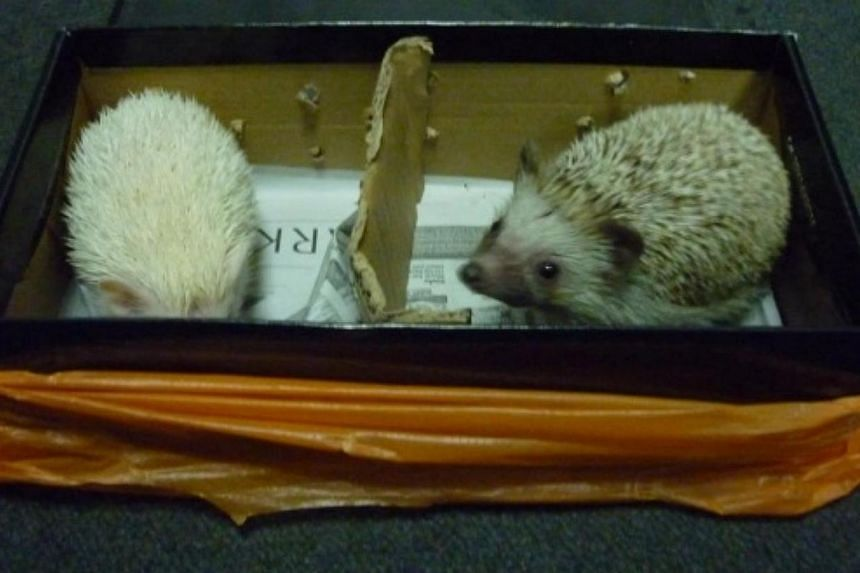 The two four-toed hedgehogs were concealed in a covered shoe box, which was placed in an orange plastic bag. -- PHOTO: ICA