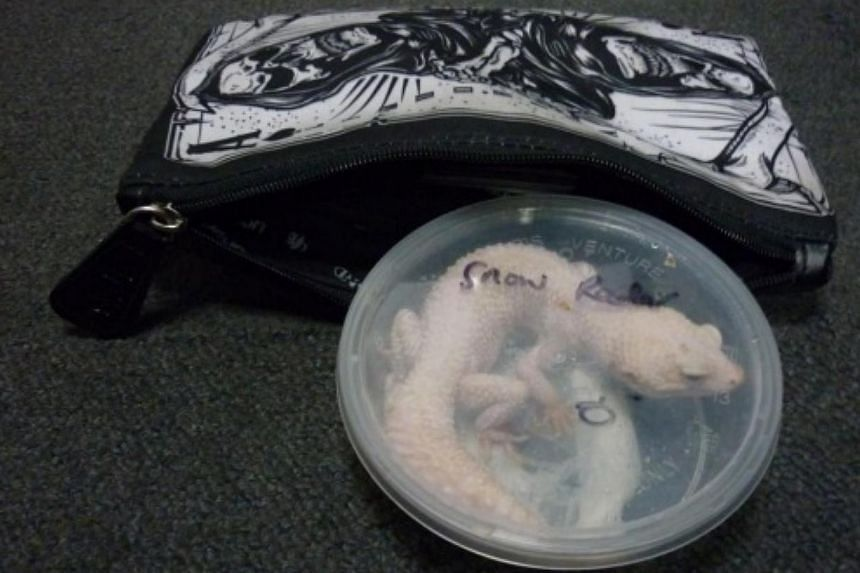 The leopard gecko was placed in a plastic transparent container, which the offender kept in a pouch. -- PHOTO: ICA