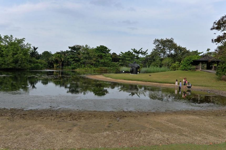 A family watches ducks in the Eco Lake in Botanic Gardens on Feb 24, 2015. The water level in the pond has fallen due to the recent dry weather.-- ST PHOTO: CAROLINE CHIA