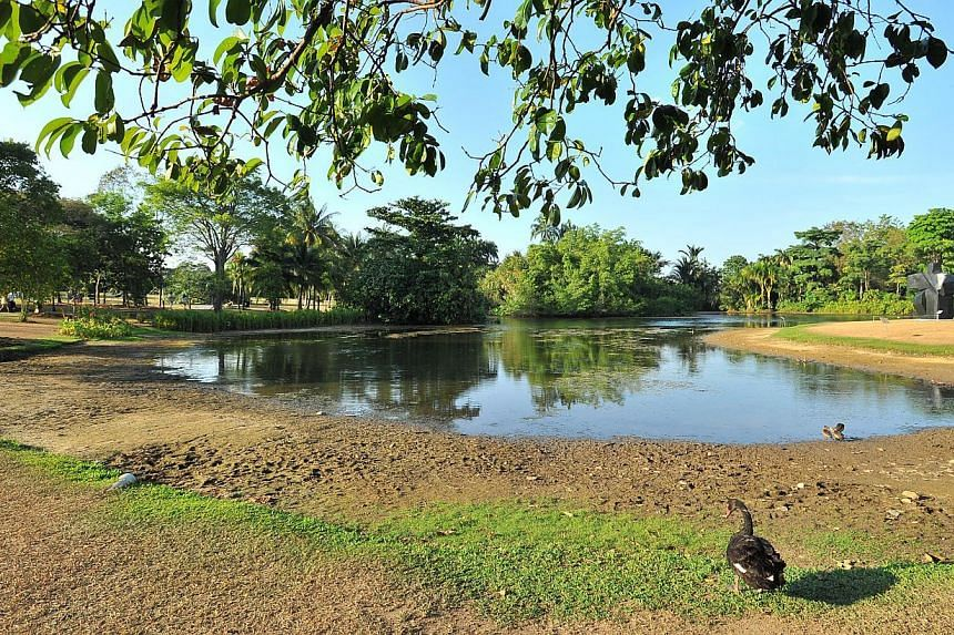 The Eco Lake at Singapore Botanic Gardens on Feb 17, 2015.Dry weather is causing the grass to turn brown and water level to recede.-- ST PHOTO: LIM YAOHUI