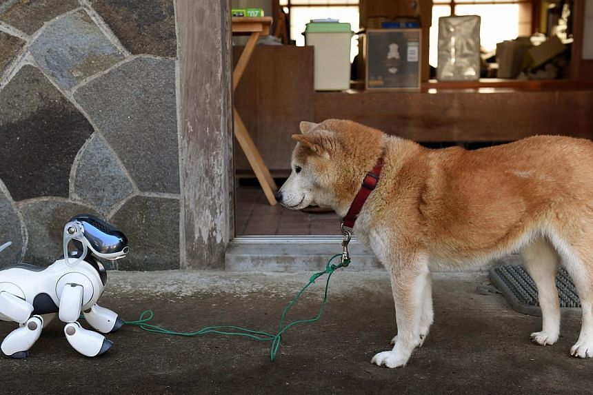 """Kuma,"" the Shiba Inu (right) looks at AIBO playing after the funeral for 19 Sony's pet robot AIBOs at the Kofuku-ji temple in Isumi, Chiba prefecture on Jan 26, 2015. Sony rolled out the first-generation AIBO in June 1999, with the initial batch of"