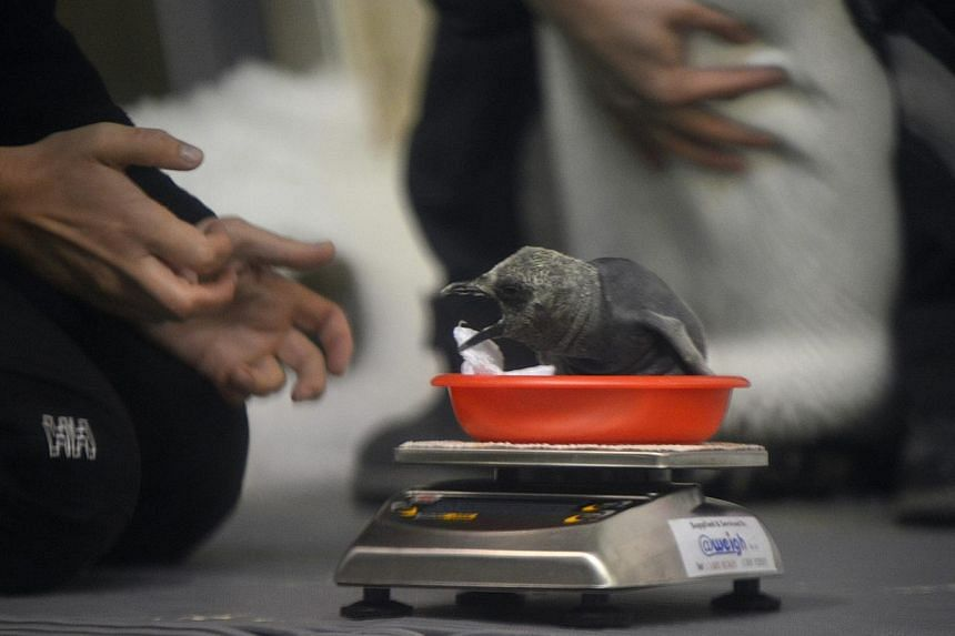 A keeper weighs a sub-Antarctic penguin chick while its parent is held by another keeper at the Sea Life Melbourne aquarium on Feb 26, 2015. -- PHOTO: EPA