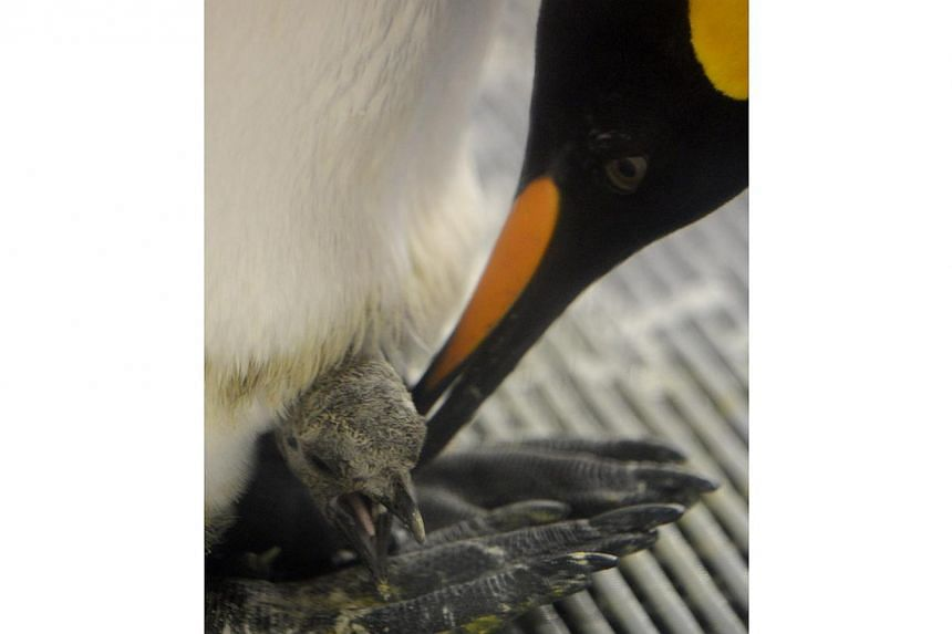 A sub-Antarctic king penguin tending to its chick after a weighing at the Sea Life Melbourne aquarium on Feb 26, 2015. -- PHOTO: EPA