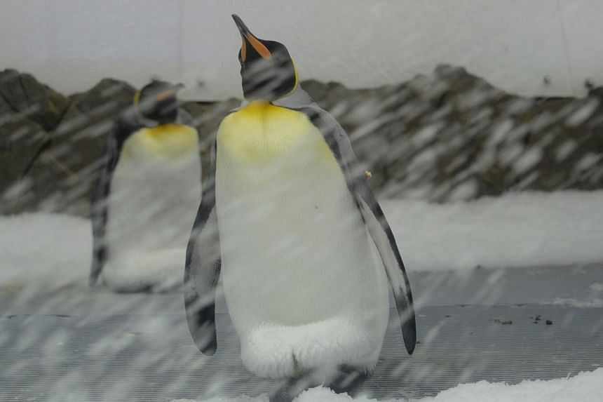A sub-Antarctic king penguin watching as a snow machine pumps ice into their enclosure at the Sea Life Melbourne aquarium on Feb 26, 2015. -- PHOTO: EPA