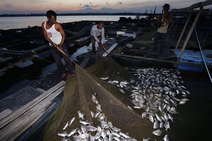 Workers showing the dead pompano and red snapper at a kelong off Pasir Ris beach on Feb 28, 2015. The fish at the fish farms off Changi have been found dead. -- ST PHOTO: KEVIN LIM