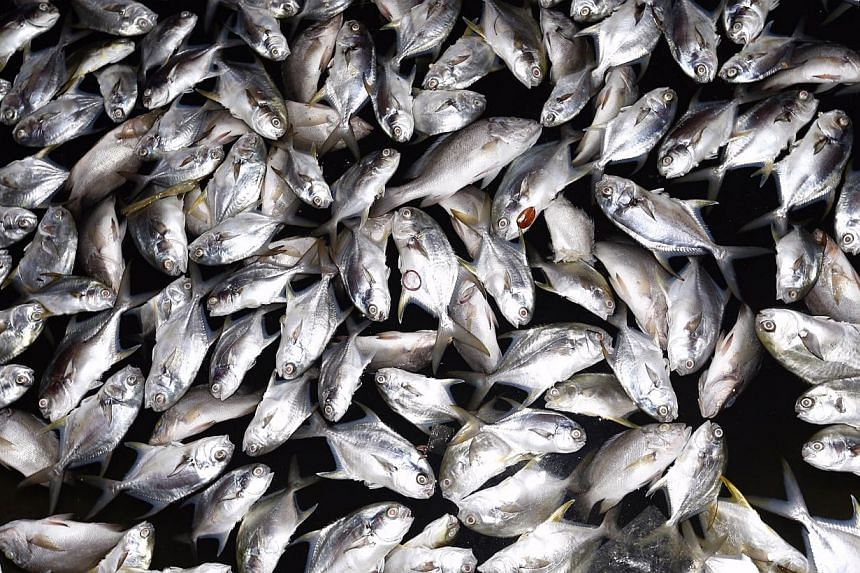Dead snappers at a kelong off Pasir Ris beach on Feb 28, 2015.-- ST PHOTO: KEVIN LIM