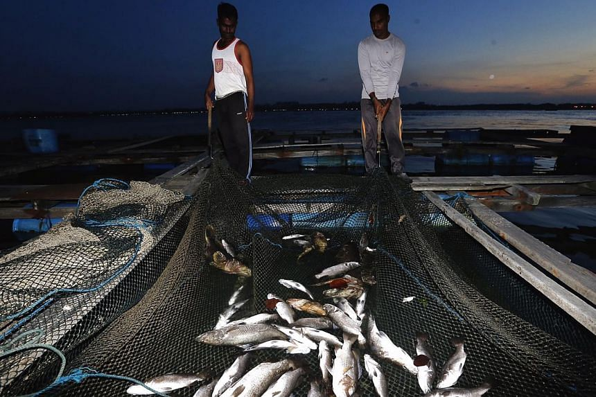 Workers showing the dead sea bass at a kelong.The Agri-Food and Veterinary Authority of Singapore (AVA) attributed the deaths to gill damage caused by plankton.-- ST PHOTO: KEVIN LIM