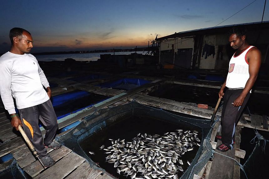 Workers looking at dead fish at a kelong off Pasir Ris beach on 28 February 2015..Lab tests conducted so far did not detect biological toxins in the fish, and fish from local farms remain safe to eat, an AVA spokesman said.-- ST PHO