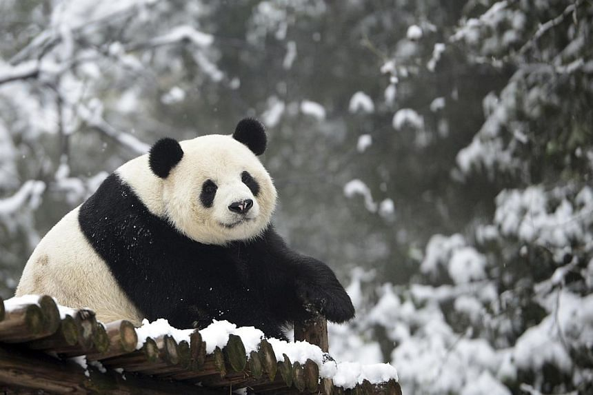 Giant panda Weiwei rests in its enclosure during snowfall at a zoo in Wuhan, Hubei province on Feb 1, 2015. China's population of wild giant pandas jumped nearly 17 per cent over a decade, with conservation measures credited as being behind the incre