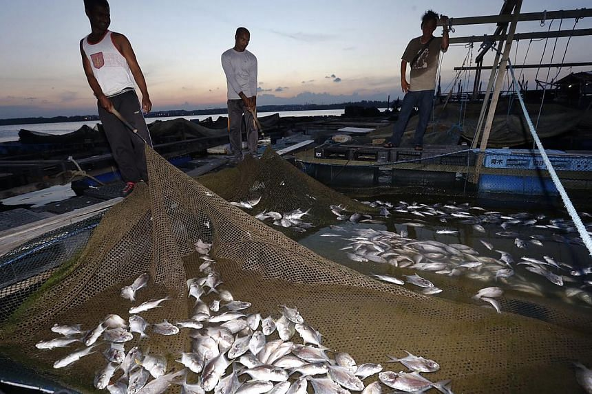 Workers showing the dead pompano and red snapper at a kelong off Pasir Ris beach yesterday. The Agri-Food and Veterinary Authority of Singapore attributed the deaths to gill damage caused by plankton.
