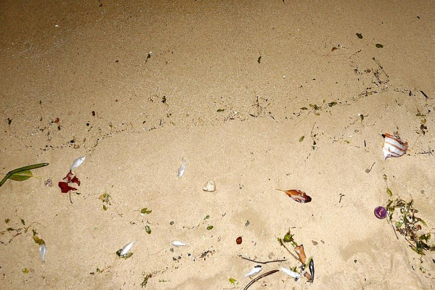 Dead fish (wild ones, not from kelong) washed ashore along Pasir Ris beach on Feb 28 2015. -- ST PHOTO: KEVIN LIM