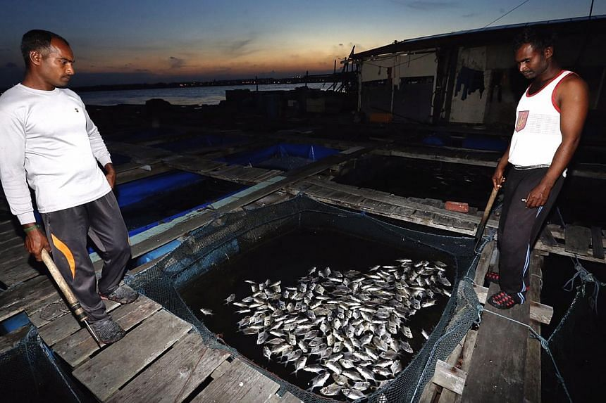 Workers looking at dead fishes at a kelong off Pasir Ris beach on Feb 28 2015. -- ST PHOTO: KEVIN LIM