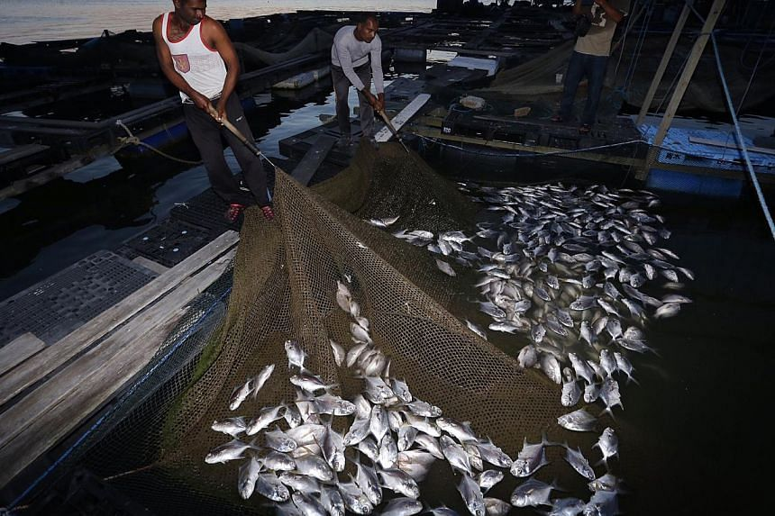 Workers showing the dead pompano and red snappers at a kelong off Pasir Ris beach on Feb 28 2015. -- ST PHOTO: KEVIN LIM