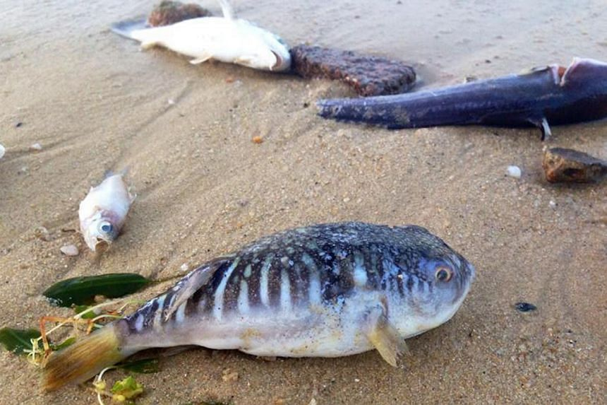 A large number of dead fish and other sea creatures seen on Pasir Ris beach last month. -- PHOTO: FACEBOOK PAGE OF SEAN YAP