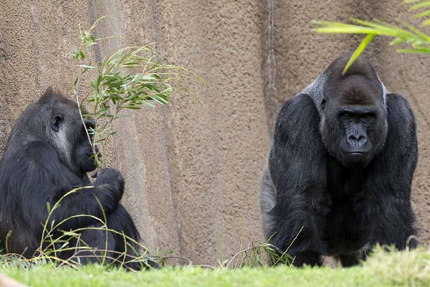 Gorillas at the zoo in Los Angeles, California in this Jan 28, 2015 photo. Two of four strains of the virus that can cause AIDS come from gorillas in south-western Cameroon, say scientists in a report. -- PHOTO: REUTERS