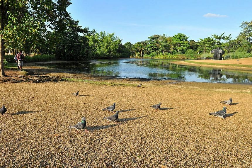 The Eco Lake at Singapore Botanic Gardens on 17 February 2015. Dry weather is causing the grass to turn brown and water level to recede. -- PHOTO: ST FILE