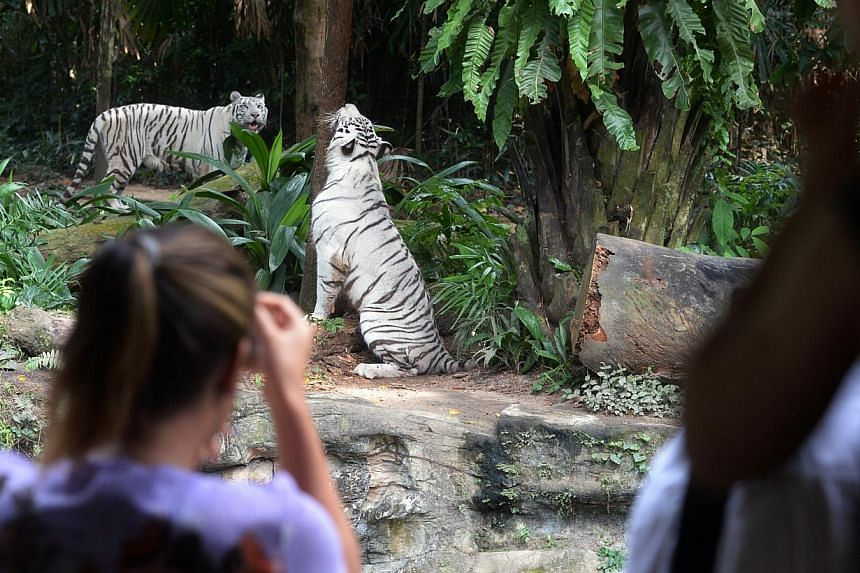 Singapore Zoo introduces a flurry of felines in the coming months.The Singapore Zoo is getting at least seven new big cats, including a pair of rare white tigers. -- PHOTO:STRAITS TIMES