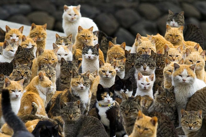Cats crowd the harbour on Aoshima Island in the Ehime prefecture in southern Japan on Feb 25, 2015. -- PHOTO: REUTERS