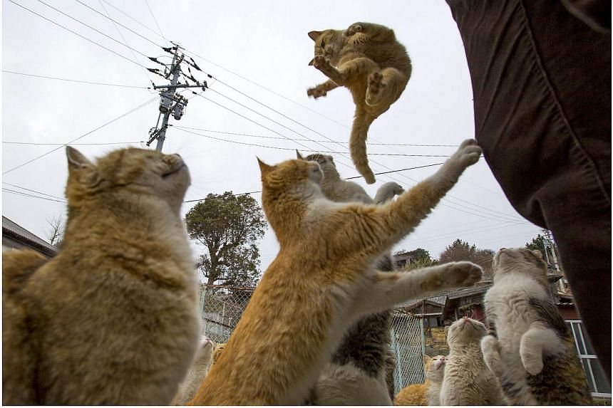 A cat jumps for food offered by a tourist (right) as other cats beg for food on Aoshima Island in Ehime prefecture in southern Japan on Feb 25, 2015. -- PHOTO: REUTERS