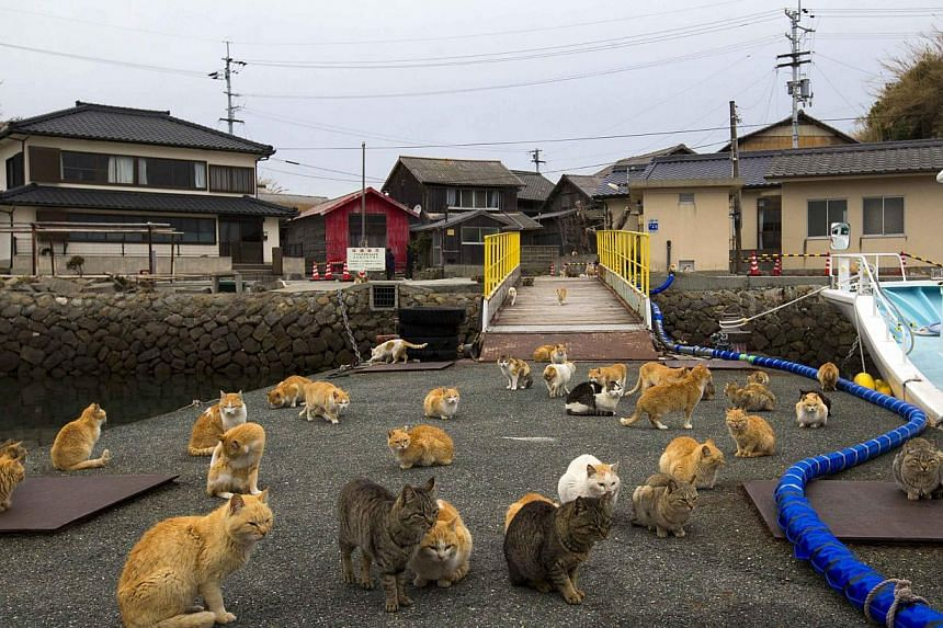 A clowder of cats crowd the wharf on Aoshima Island in Ehime prefecture in southern Japan on Feb 25, 2015. -- PHOTO: REUTERS