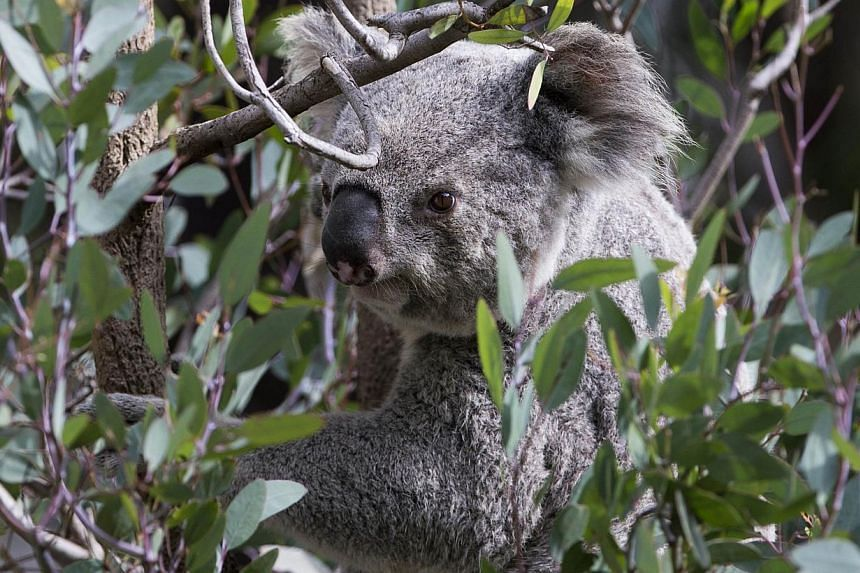 A koala is seen perched on an eucalyptus tree branch. Close to 700 koalas have been killed off by the authorities in south-eastern Australia because overpopulation led to the animals starving, a state minister confirms on Wednesday. -- PHOTO: REUTERS