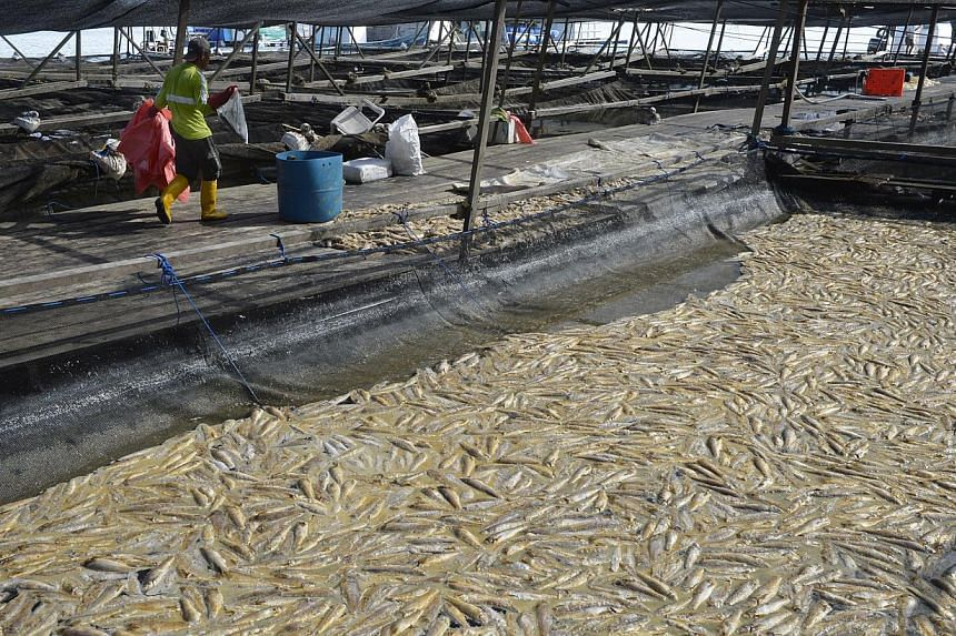 A plankton bloom at the weekend killed 120 tonnes of fish at Marine Life Aquaculture (left).
