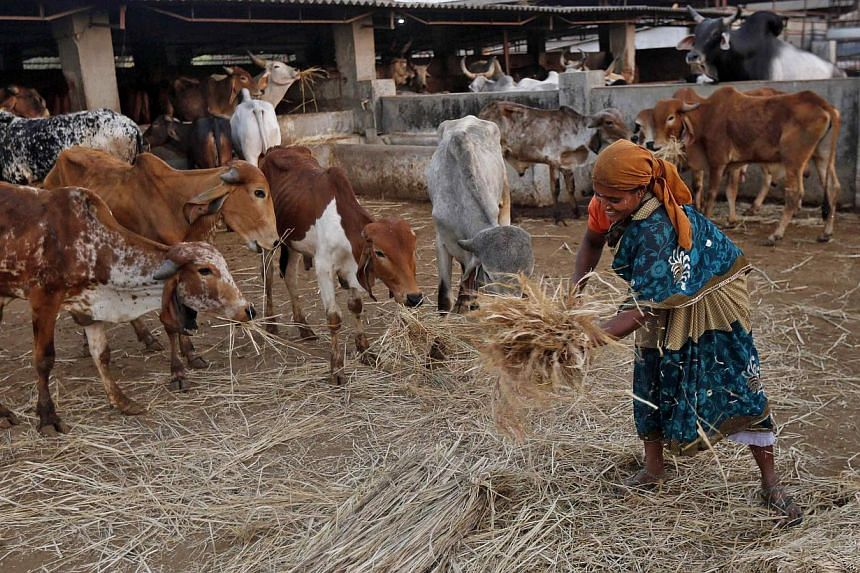 "A woman spreads out fodder for rescued cattle at a ""goushala"", or a cow shelter at Aangaon village in the western Indian state of Maharashtra on Feb 20, 2015. The police in a west Indian township have asked cattle owners to supply photographs of"