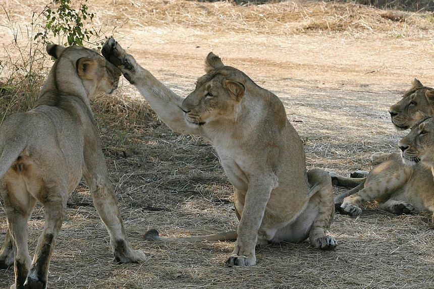 India on Saturday began a five-yearly count of asiatic lions in the western state of Gujarat's Gir sanctuary, the last habitat for the endangered big cats globally, an official said. -- PHOTO: AFP