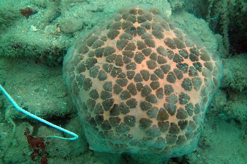 A cushion seastar (top) and an icon seastar found on the coast of Pulau Hantu. South-east Asia is one of the world's marine biodiversity hot spots.