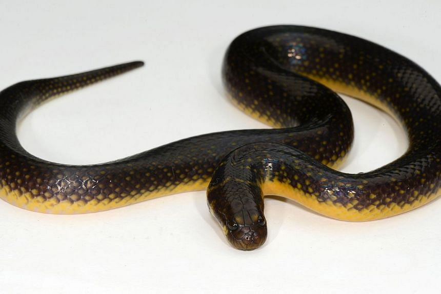The discovery of a smooth slug snake (left) and a blackwater mud snake - species new to Singapore - shows the island still has rich ecological habitats. The Neptune's Cup sponge (right) , sighted in waters off its shores, was an even more startling f