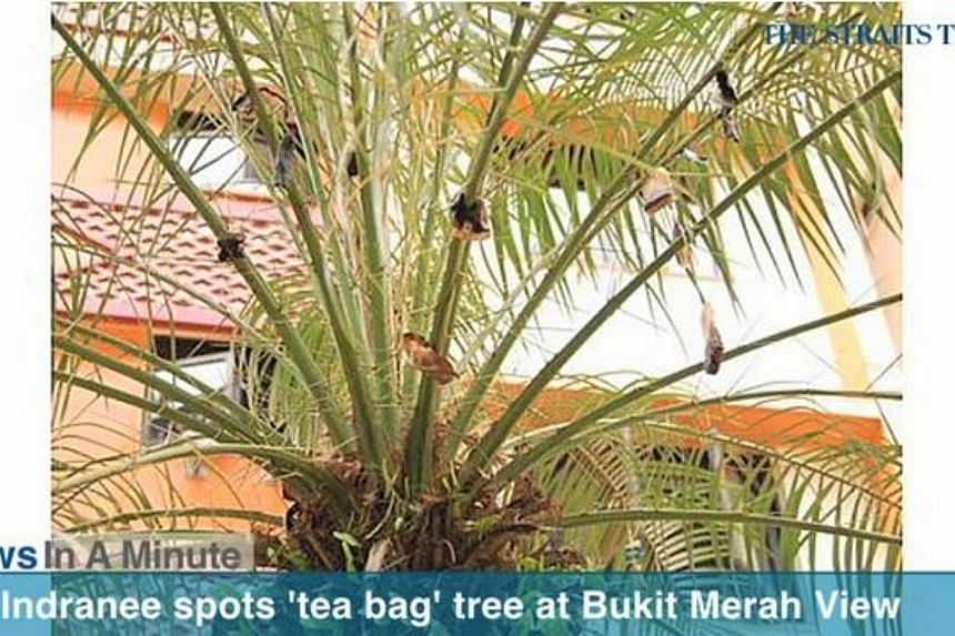 Tanjong Pagar GRC MP Indranee Rajah spotted a tree littered with tea bags on its branches while taking a walk at Bukit Merah View after a Cleaners Appreciation Day. -- SCREENGRAB FROM RAZORTV