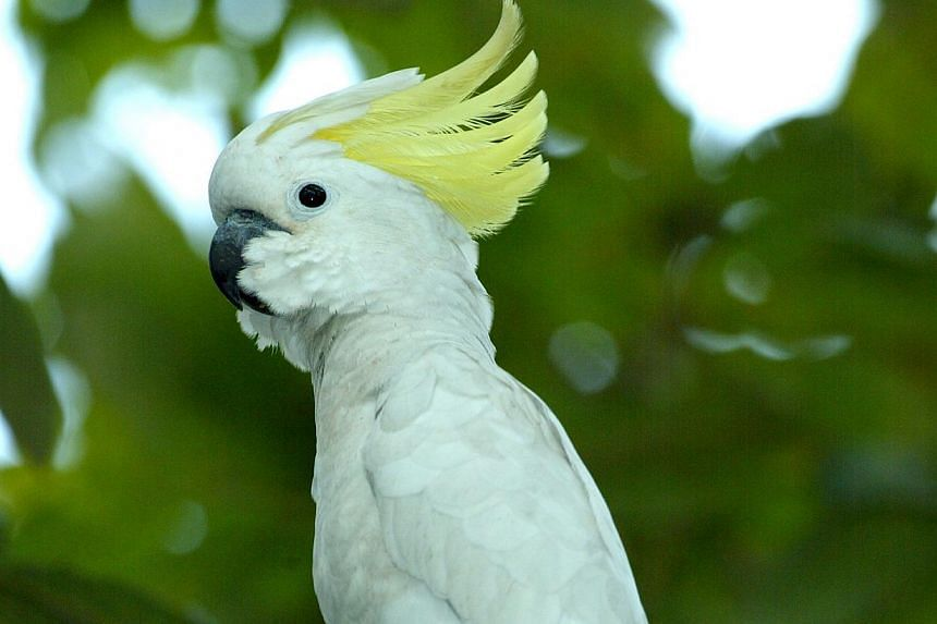 Indonesia's Yellow-crested cockatoo population is at a critical low due to rampant illegal hunting and trade. -- PHOTO: SINGAPORE ENVIRONMENT COUNCIL