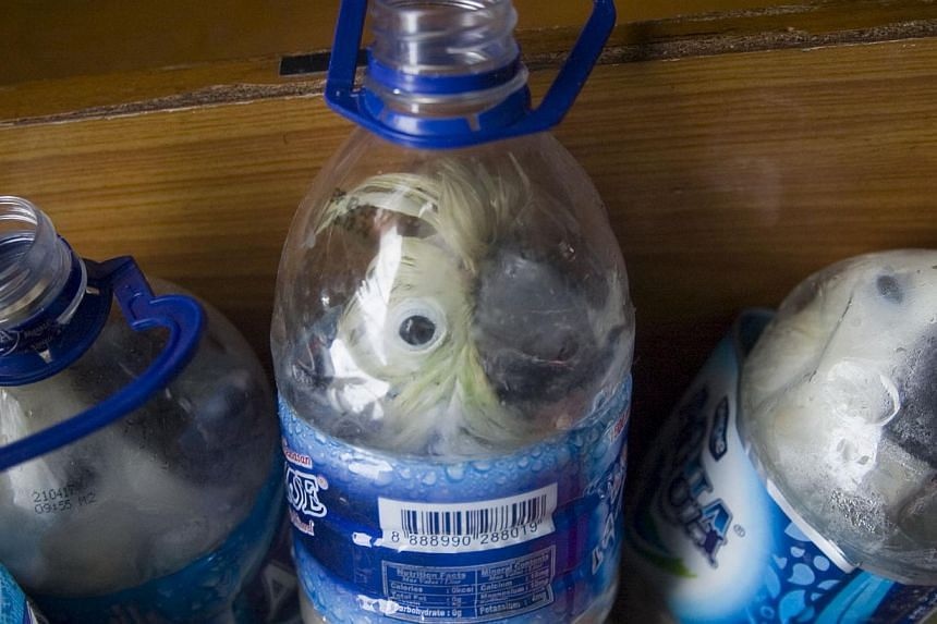 Rare Indonesian yellow-crested cockatoos placed inside water bottles confiscated from alleged wildlife smuggler. -- PHOTO: REUTERS