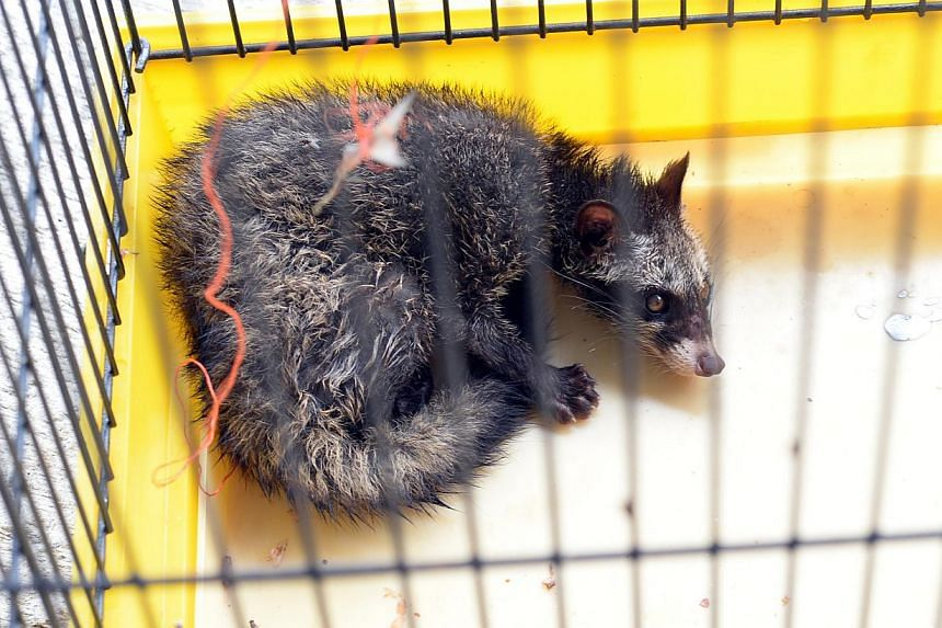 The pig-tailed macaque (left) and common palm civet (top) were found in cages at a Hougang car workshop. They were seized and taken to the Singapore Zoo after a tip-off from local wildlife rescue group Acres.