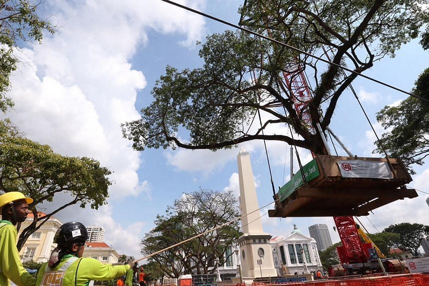 Workers in the final stages of transplanting one of the eight mature rain trees, each about 40 years old, into the new lawn in front of the Victoria Theatre and Concert Hall. -- ST PHOTO: NEO XIAOBIN