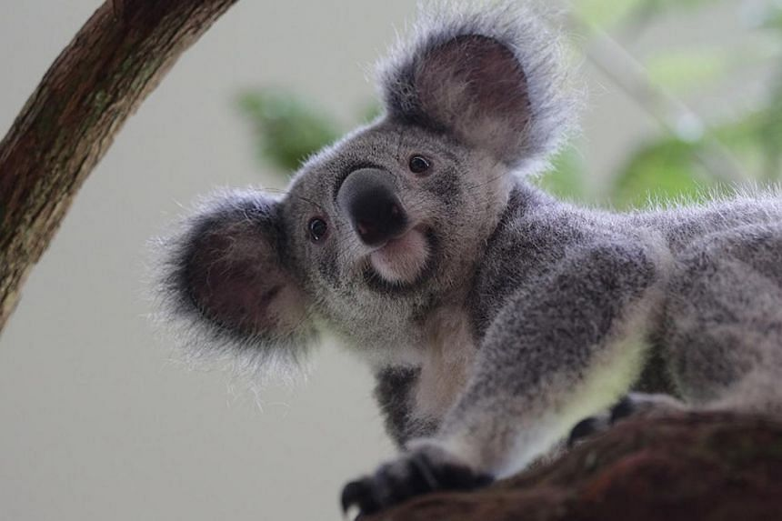 Idalia (above), the youngest of the four koalas, enjoys exploring new places. The koalas are on loan from Australia for six months. -- ST FILE PHOTO