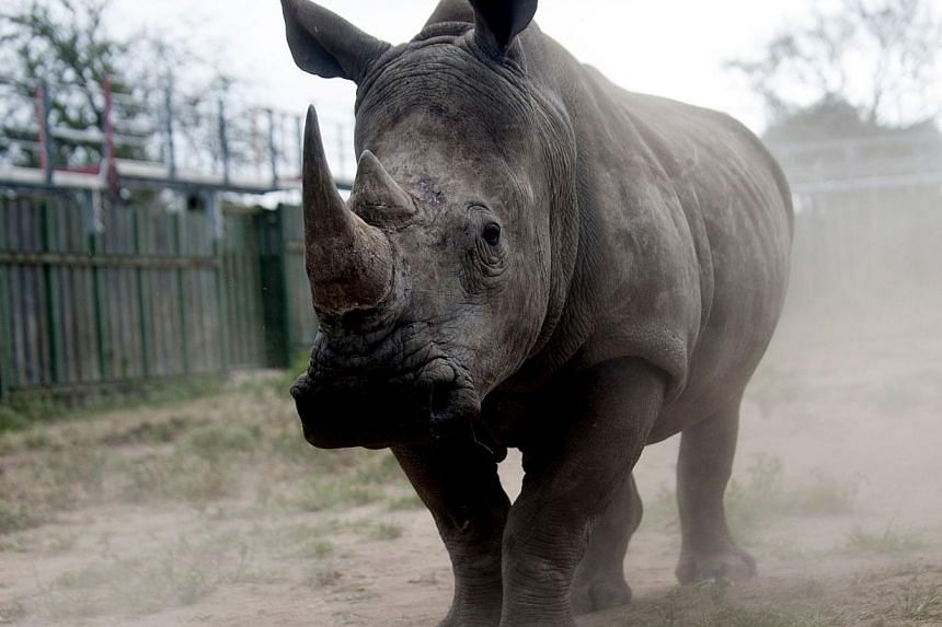A rhino looks through the bars of the holding pens at the Kruger National Park in South Africa on Mar 2 this year. -- PHOTO: AFP