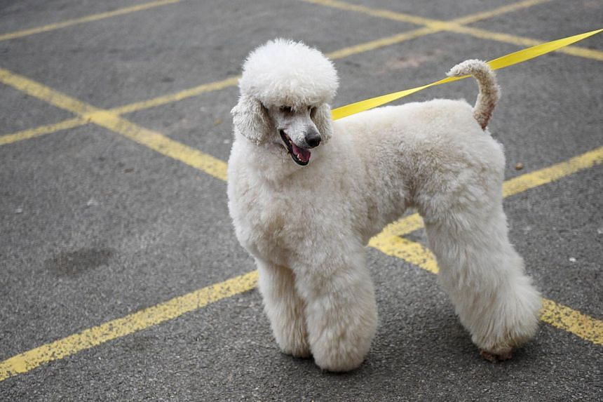 A California man was jailed for a year on Tuesday and told to undergo anger management counseling for beating his pet poodle to death. -- PHOTO: AFP