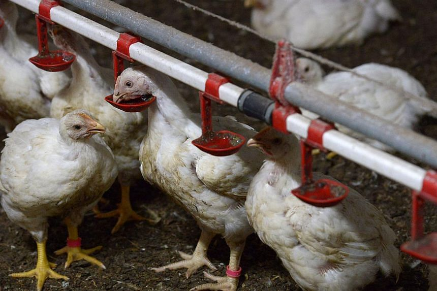 In barns filled with classical music and lighting that changes to match the hues outside, rows of chickens are fed a diet rich in probiotics, a regimen designed to remove the need for the drugs and chemicals that have tainted the global food chain. -