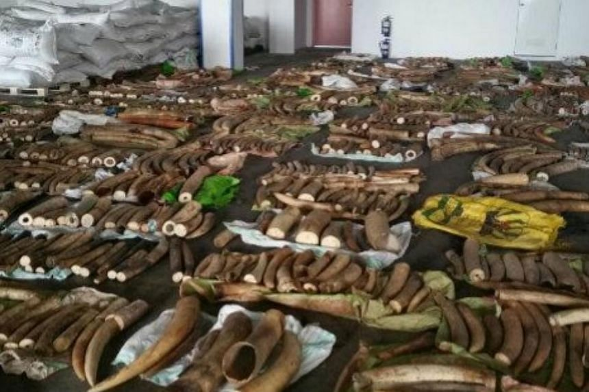 1,783 pieces of raw ivory tusks, 4 pieces of rhinoceros horns and 22 pieces of canine teeth believed to be from African big cats were concealed among bags of tea dust. -- PHOTO: AGRI-FOOD & VETERINARY AUTHORITY AND SINGAPORE CUSTOMS