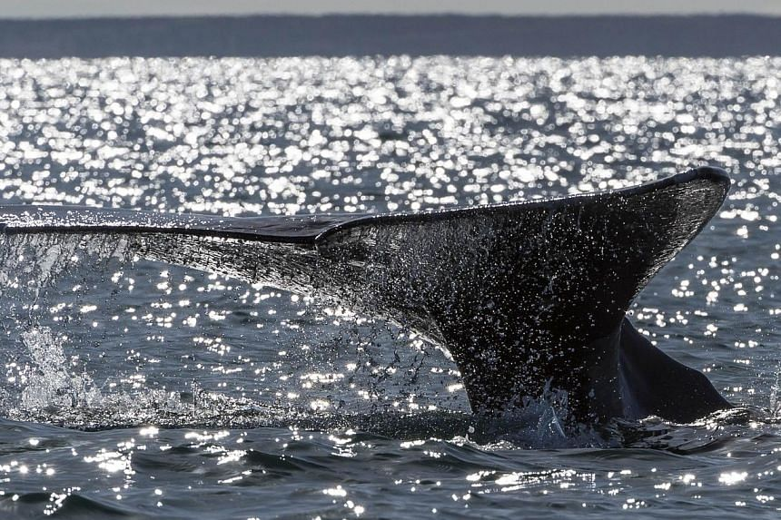 A grey whale diving in a lagoon in Mexico on March 3, 2015.Environmentalists reacted angrily on Tuesday to a controversial shipment of fin whale meat to Japan by an Icelandic whaling company, saying that it flouted international conservation ag