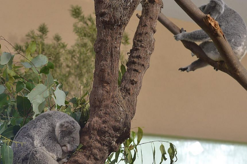 """Koalas at the Singapore Zoo. Visitors to the Singapore Zoo can now say """"hi"""" to its latest residents from Down Under: four koalas named Paddle, Chan, Pellita and Idalia. -- ST PHOTO: ALPHONSUS CHERN"""