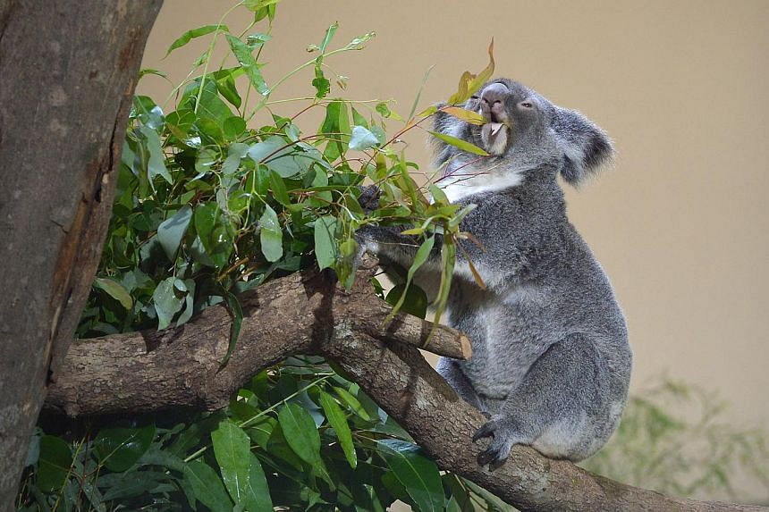 """A koala at the Singapore Zoo. Visitors to the Singapore Zoo can now say """"hi"""" to its latest residents from Down Under: four koalas named Paddle, Chan, Pellita and Idalia. -- ST PHOTO: ALPHONSUS CHERN"""