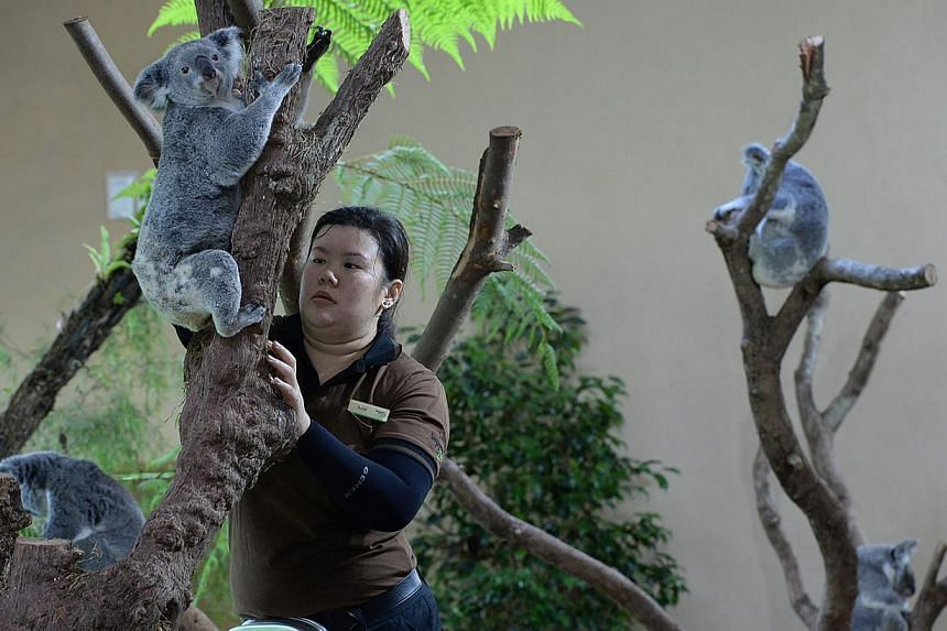 Junior Animal Management Officer, Rachel Yeo, brings Idalia down for feeding at the Singapore Zoo. Four koalas named Paddle, Chan, Pellita and Idalia, are on loan from Australia to the zoo here. -- ST PHOTO: DESMOND FOO