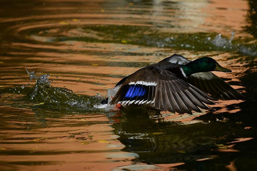 A duck takes off from a pond in a public garden in Rome on April 2, 2015. Mexican environmental authorities filed an animal cruelty complaint on Wednesday against a ritual in which participants rip off the heads of live ducks. -- PHOTO: AFP&nbsp