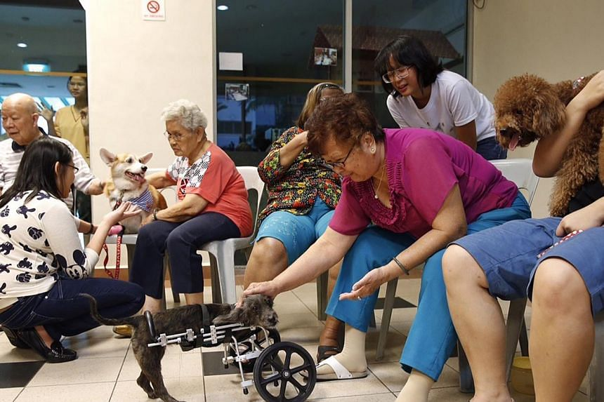 Kheng Chiu Happy Lodge resident Pang Chee Mee (right), 73, reaching out to play with Qian Qian, a two-legged dog, as part of SOSD's Healing Paws programme. Qian Qian (top), who was born without front legs and moves around with wheels, had to pass str