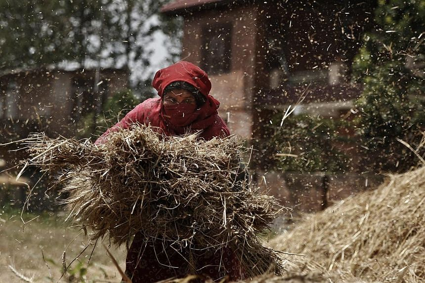 A Nepalese farmer gathers wheat in a field in Bhaktapur, Nepal, on May 22, 2015. -- PHOTO: EPA