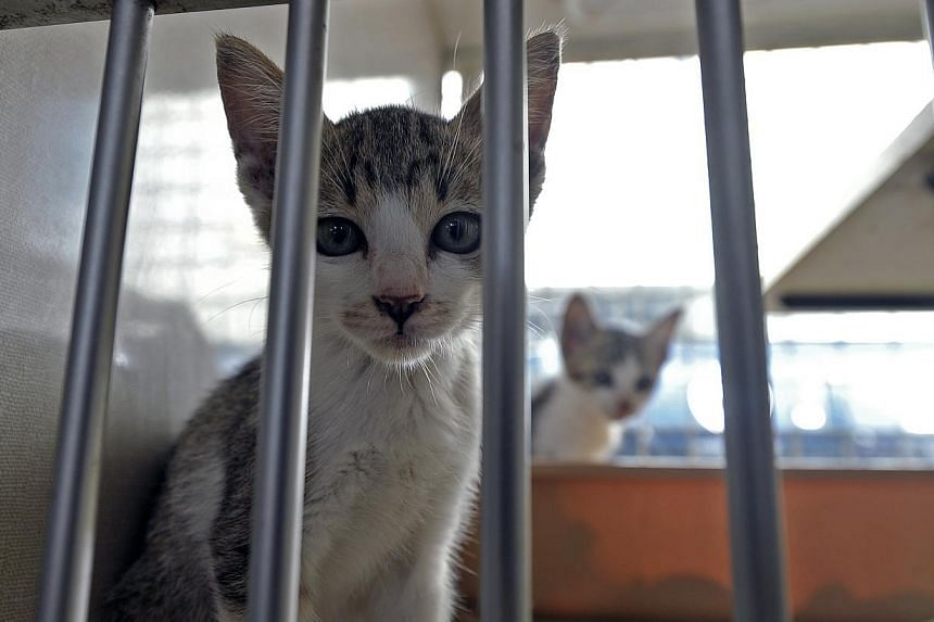 Cats at the Society for the Prevention of Cruelty to Animals (SPCA) compound at Mount Vernon Road. -- PHOTO: ST FILE